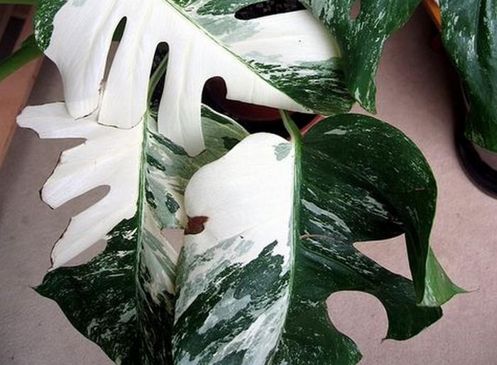 Monstera variegata – vår tids tulpanhajp?
