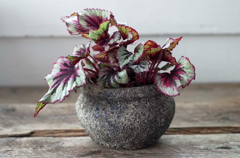 Ta stickling av Begonia rex