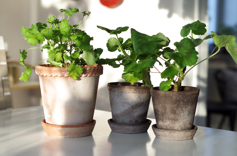 Krukväxter som uteväxter