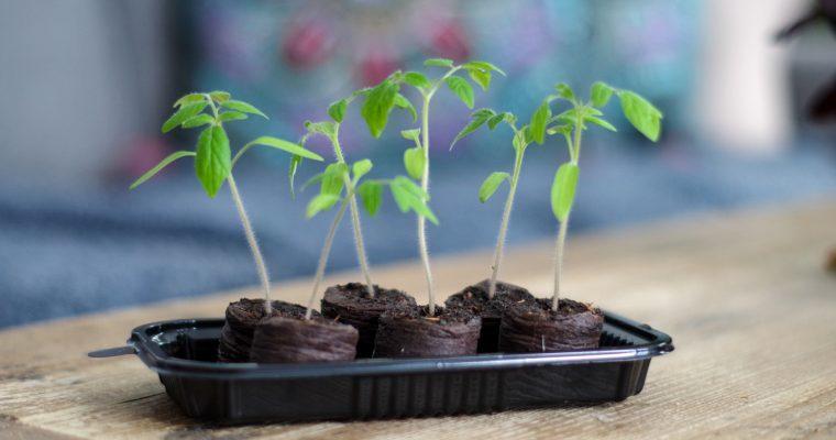 Ekonäring och de förstörda tomatplantorna