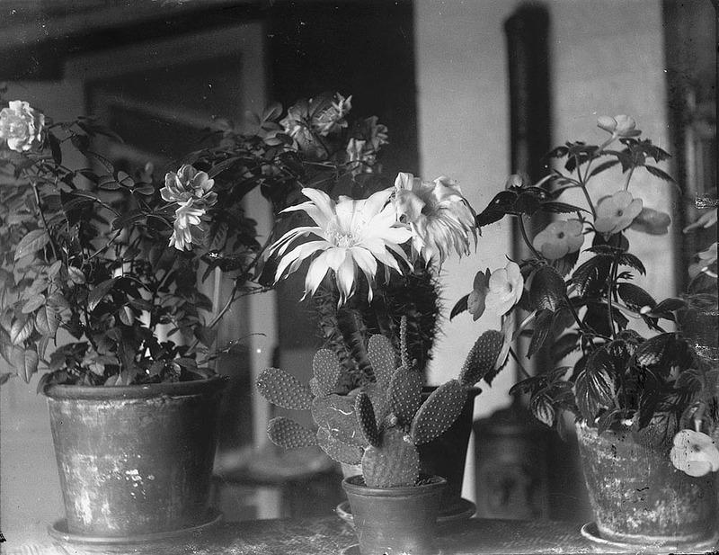 Krukväxter i ett historiskt perspektiv