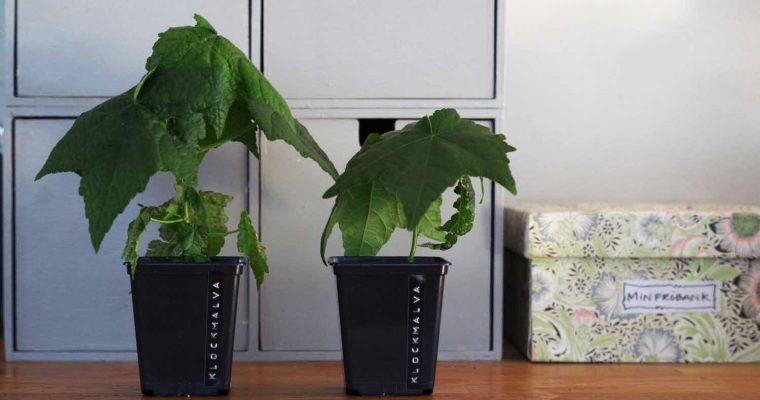 Mormorsväxter – Klockmalva