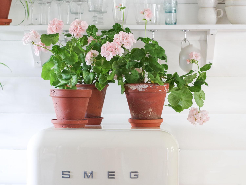 Mormorsväxter – Mårbackapelargon