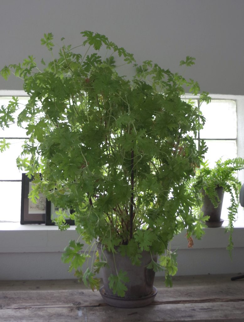 Dr Westerlund rosengeranium