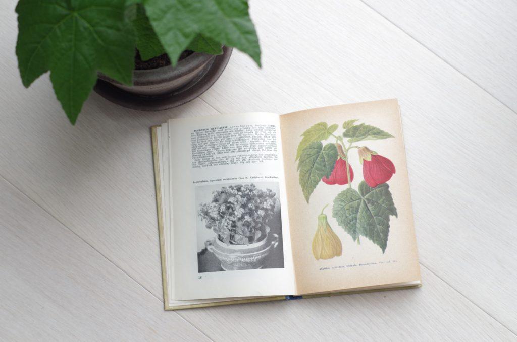 Klockmalva en växt som Vivi Täckholm gjorde populär i Sverige.