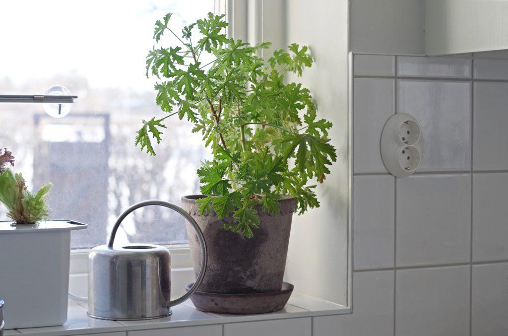 Slipp ohyra genom rätt växter - doftpelargoner