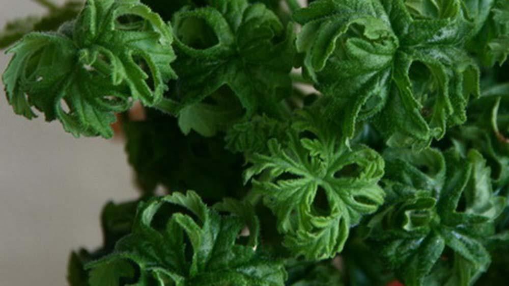 Bonsaipelargon – Pelargonium Graveolens Bontrosai