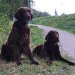 Dad Shanti and son Dali' cold game trial weekend SSRK Värmland Arvika