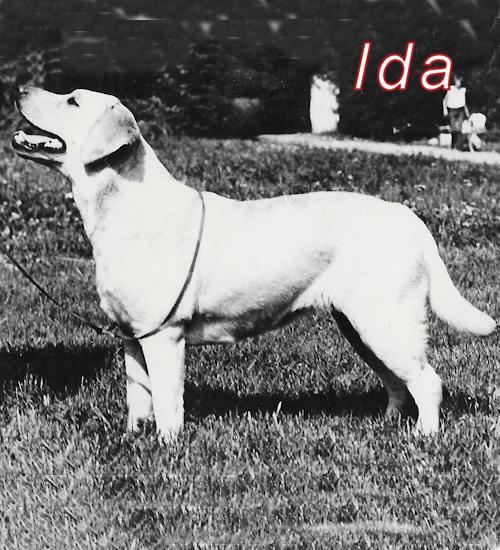 gul labradortik