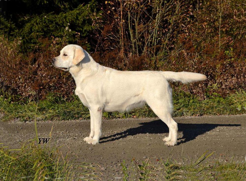 Gul stående labradortik
