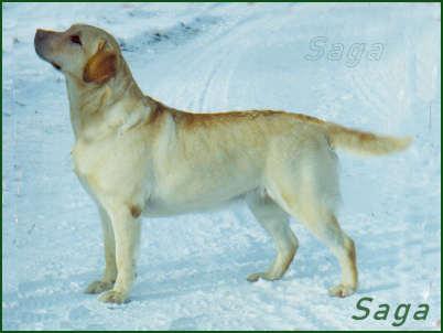Labradortik