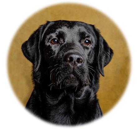 huvudbild svart labradortik