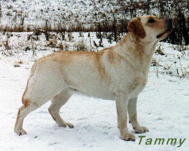 Stående gul labrador retriever