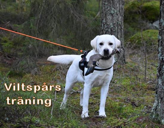 viltspårsträning med labrador