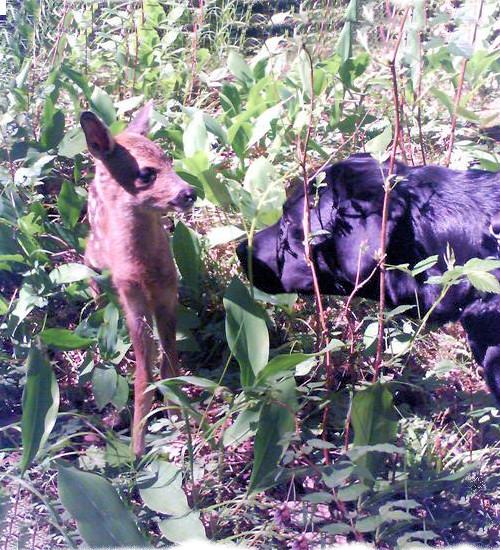 Möte Labrador och ett litet rådjurskid