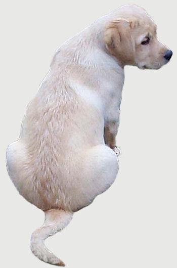 gul labradorvalp