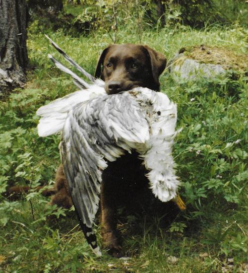 vad en labrador kan göra