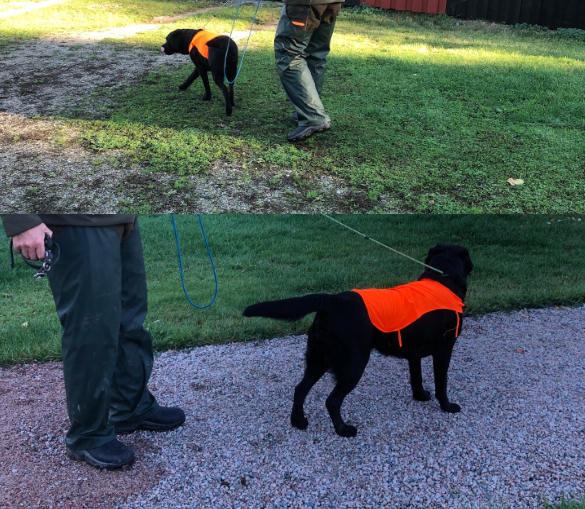 viltspår-eftersök med labrador