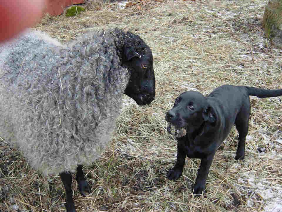Ett får och en labradorvalp