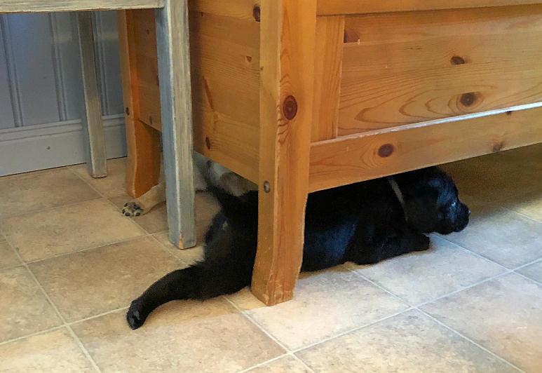 labradorvalpar som kryper under en soffa.