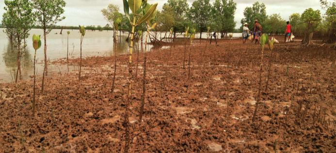 Ecologi Mangrove planting in Madagascar