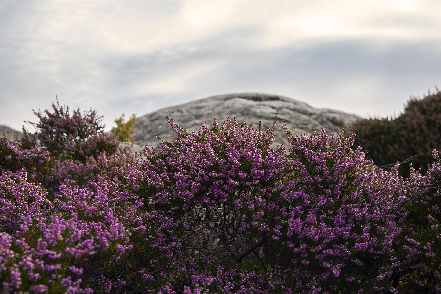 Bild på lila höstljung.
