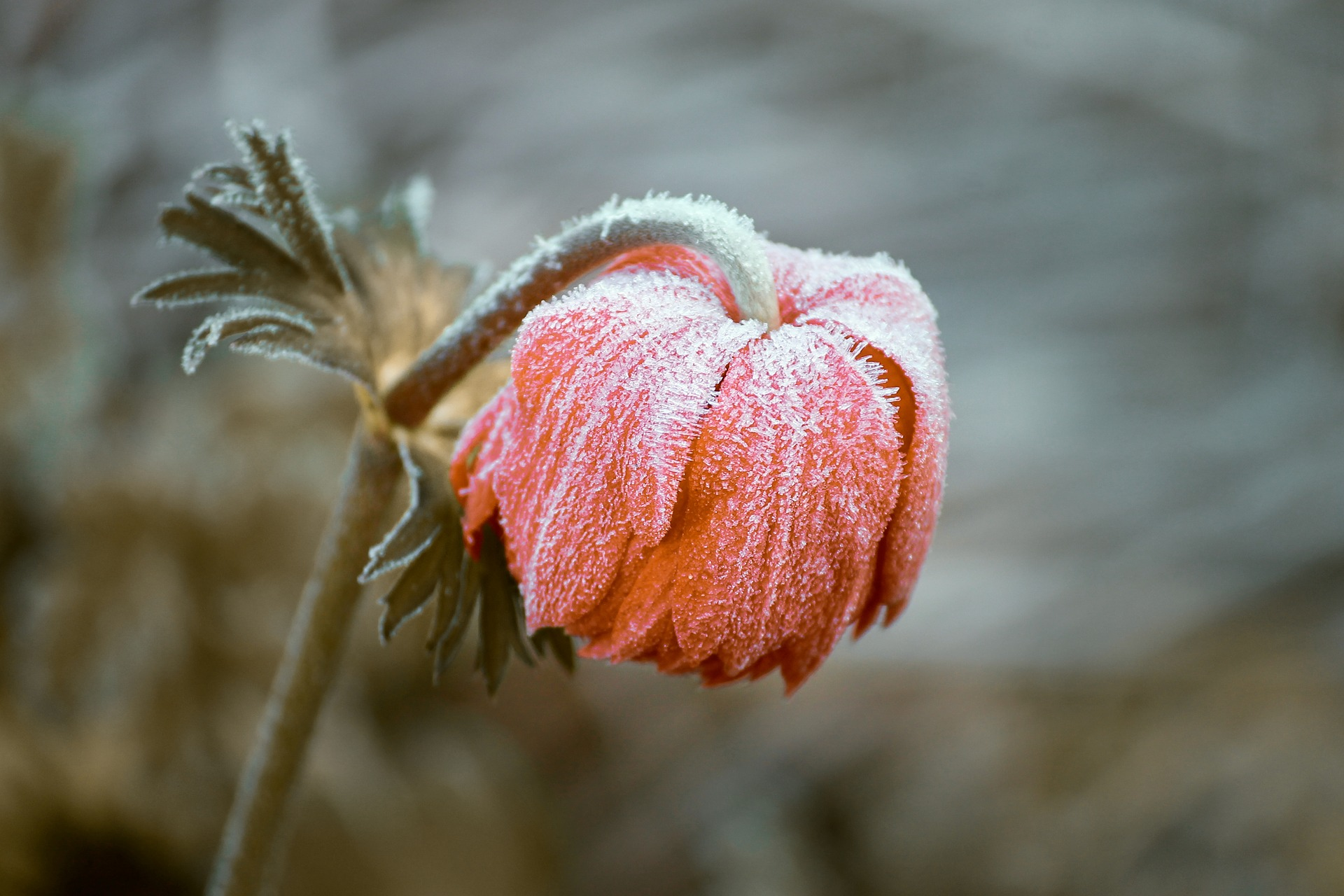 Foto på en frostnupen blomma.
