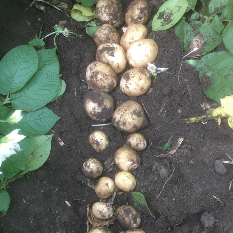 Kartoffelavlere