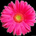 Gerbera in Pink