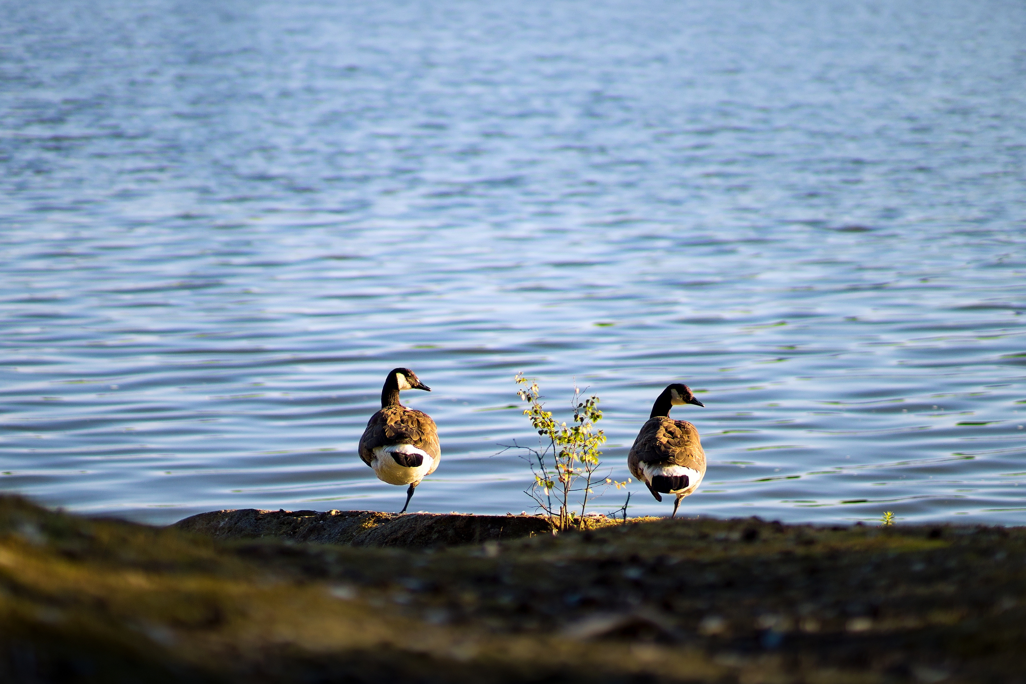 A pair of geese together on the water site