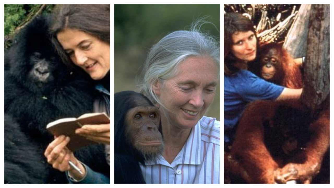 Dian Fossey, Jane Goodall and Birutė Galdikas – the trimates that taught us about primates. Image courtesy: One Green Planet