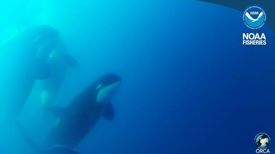 Type D Killer Whales (Picture: NOAA Fisheries)