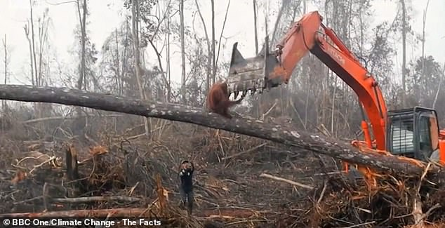 Orangutan battles against a digger that was clearing its habitat because of consumer demand for palm oil
