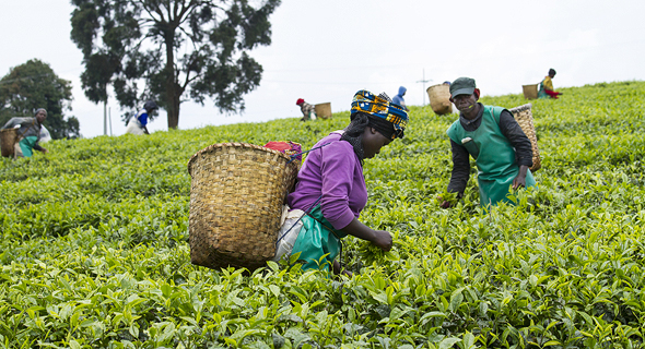 Tea farmers in Rwanda. Photo: Shutterstock