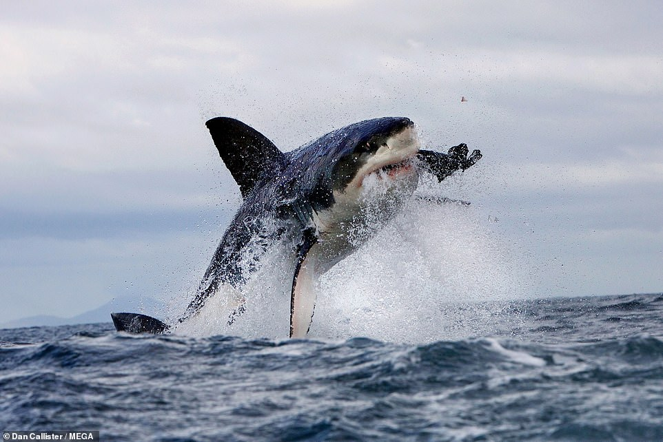Great white sharks (pictured) have mysteriously vanished from one of their most popular hunting grounds in South Africa — and invading killer whales may be to blame