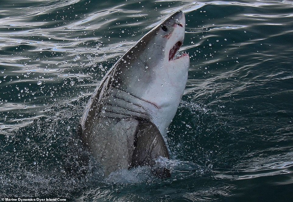 The great whites population in False Bay have not returned to face their nemesis but it is hoped that they will in time return to their usual hunting ground
