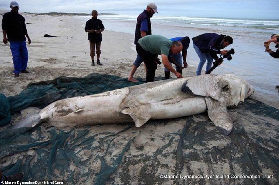 This comes after five great white sharks were washed up along the South African coastline in 2017 with gaping wounds on their side with their livers having been bitten out by two killer whales in the area