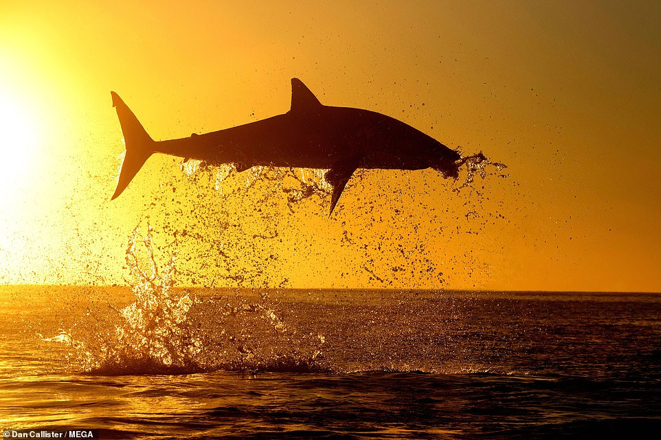 Some 350 to 525 great white's are believed to roam the coast of South Africa after a study was completed in 2014, but the current population numbers is unknown. It is thought there could only be a few hundred of the sharks in the world