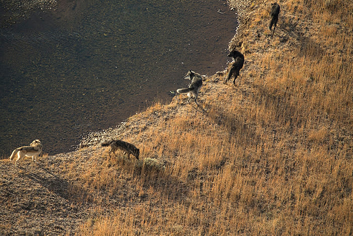 Wolves had been absent from Yellowstone National Park for 70 years when they were reintroduced in the 1990s, which caused dramatic ecological change
