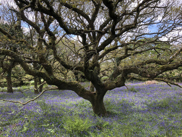 Bluebells beneath a Celtic oak on Merlin Hanbury-Tenison's Cornish farm. Last year he took on his father's 330-acre cattle and sheep farm and now wants to allow woodland to take over the grazing land