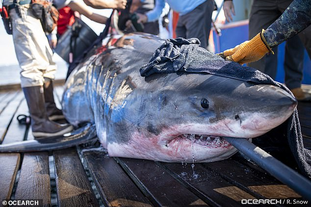 Researches noticed that last month, Unama'ki left the eastern US coast and made her way deeper into the ocean – something experts call a 'pelagic journey.'Another reason is the water temperatures are more favorable for young sharks and the shark be looking for an abundant food source for their babies to feed on once they are born
