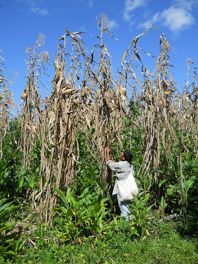Maize was domesticated from teosinte, a wild grass growing in the lower reaches of the Balsas River Valley of Central Mexico, around 9,000 years ago