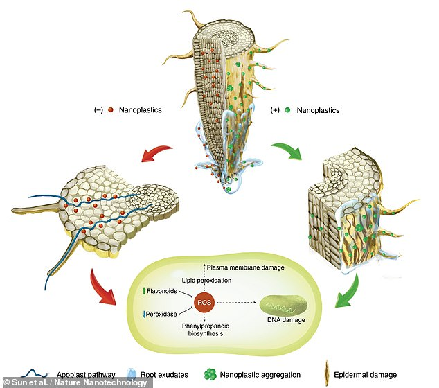 A study published earlier this week found that nanoplastics could also be absorbed by plants roots. A diagram of how this happens is shown above