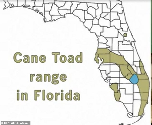 Cane toads are surfacing in Southern Florida after heavy rainfall brought them out of their burrows and providing them with optimal breeding grounds