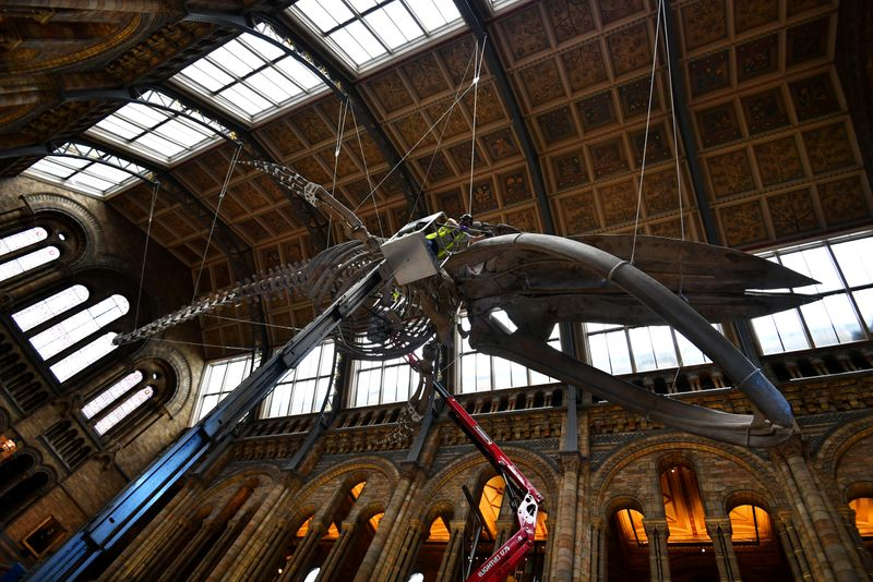 © Reuters. The conservation team at the Natural History Museum clean Hope, a blue whale skeleton, in London