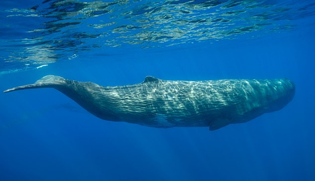 Sperm whales are highly vocal, producing distinct types of clicks for both echolocation and social interaction purposes. The study, published today in the Endangered Species Research, focused on the extremely powerful and highly directional 'usual clicks' produced while foraging