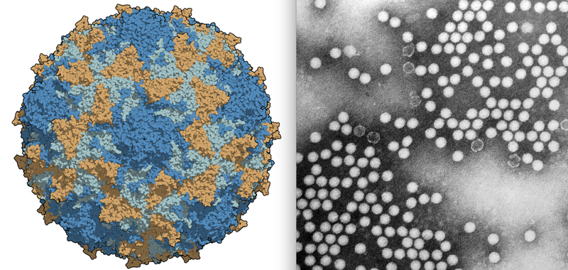 One large polio virion and a microscope image of many virions