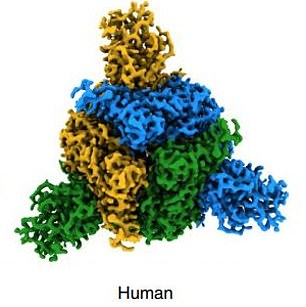Pictured, the SARS-CoV-2 virus spike as image by the team at the Francis Crick Institute