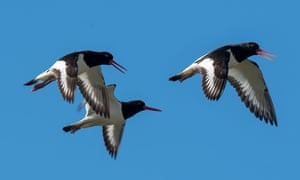 Oystercatchers in flight.