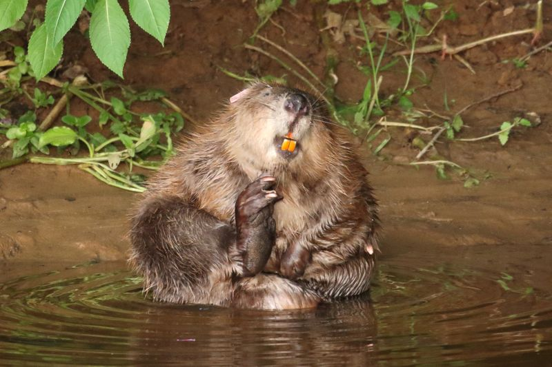 © Reuters. Beaver is pictured at River Otter, Devon